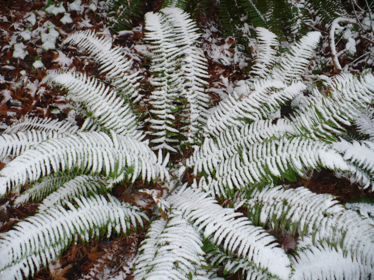 photo of fern covered in snow on protection island